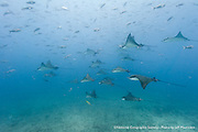 A squadron of spotted eagle rays glide past at Cousins Island dive site in the Galapagos Islands of Ecuador.