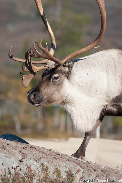 It is mating season so the reindeer ox (bull) is looking for females.