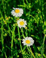 Daisy flowers. Image taken with a Fuji X-T3 camera and 80 mm f/2.8 OIS macro lens