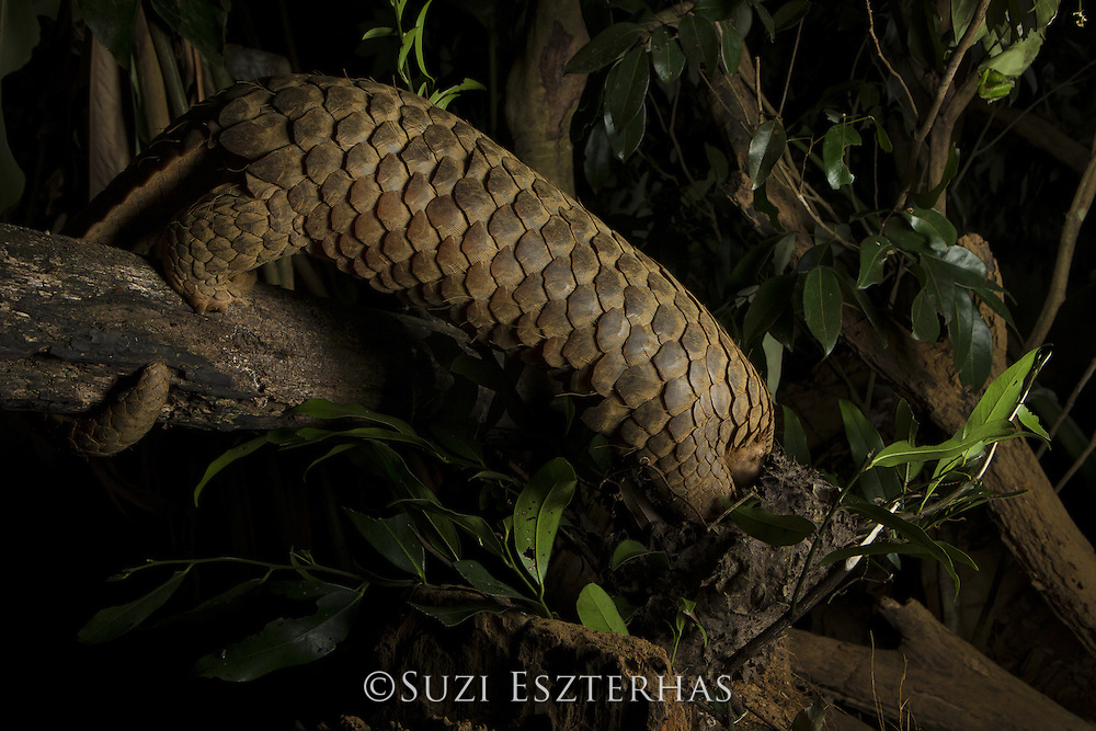 Sunda pangolin <br /> Manis javanica<br /> Adult (rescued and rehabilitated, awaiting release) raiding ant nest<br /> Carnivore and Pangolin Conservation Program, Cuc Phuong National Park, Vietnam<br /> *Captive - rescued from poachers