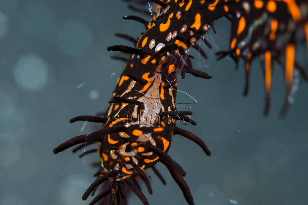 Ornate ghost pipefish, Solenostomus paradoxus, pouch full with fries, Lembeh, Sulawesi, Indonesia