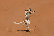 Sifaka,Propithecus verreauxi, Berenty Private reserve, Madagascar, Africa