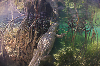 ; The American crocodile is lizard-shaped with a long, muscular tail and four short legs that have five toes on the front feet and four on the back feet. Adults have grayish-green backs and tails and white to yellowish undersides. Their narrow snout is triangular in shape, and the fourth tooth on both sides of the lower jaw is visible when the mouth is closed. The ear drums are protected by moveable flaps of skin at the top of the head behind the eyes, and the nostrils are at the end of the elongated snout. Because of the location of the eyes, ears, and nostrils, a crocodile can be submerged with only the top of its head exposed and still be able to see, hear, and breathe. Male crocodiles are larger than females and can reach about 20 feet in length but rarely exceed 14 feet in the wild.