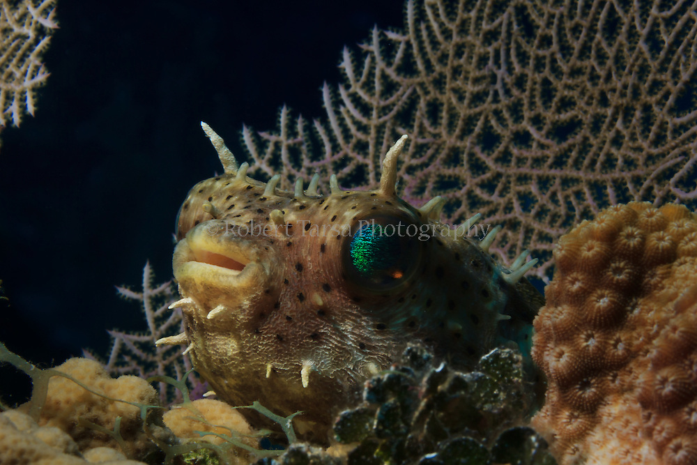 Bridled burrfish resting amongst the coral on Bloody Bay wall Little Cayman.