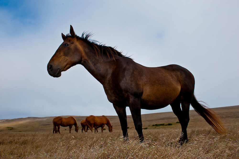 The National Park Service maintains a herd of aged horses left over from 20th century ranching era out on Santa Rosa Island, California, on Aug. 6, 2012  The horses seem to be doing well in their retirement with plenty of room to roam and annual vet visits. (Photo by Aaron Schmidt © 2012)