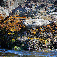 North America, Canada, British Columbia, Vancouver Island. Harbor Seals of the Broken Group Islands.