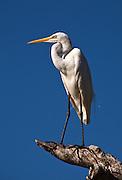 intermediate egret, kuranda, north queensland