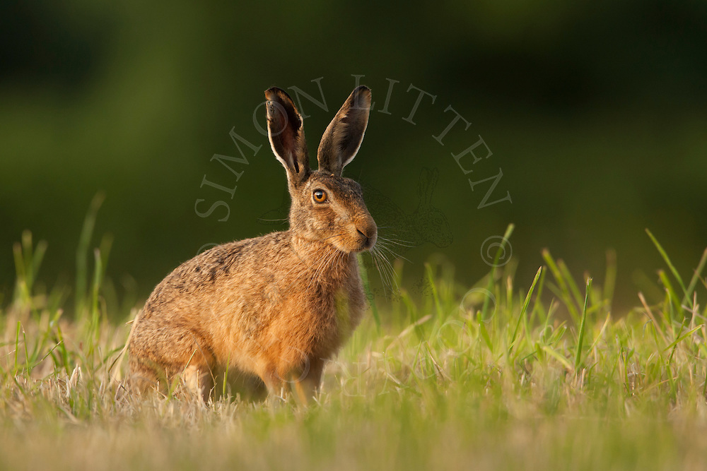 European Hare (Lepus europaeus) adult, alert,  in crop planted for bird cover, Norfolk, UK.