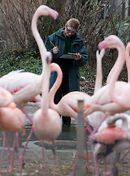 ©London News Picures. 04/01/2011 Zoo keeper with Greater flamings before making a record of their numbers at London Zoo as part of the zoo's annual stocktake on January 4, 2011 in London, England. ZSL London Zoo is home to over 650 different species which all need to be cataloged in their annual stocktake which is a compulsory requirement for their zoo license..LondonPhoto credit should read Fuat Akyuz/London News Pictures.