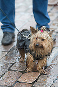 Hakaniemi market square. Swingin' Shoemakers concert. Yorkshire Terrier listening.