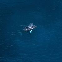 Une baleine à bosse et son baleineau le long des côtes de la Guadeloupe.