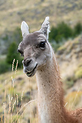 The guanaco (Lama guanicoe) is a camelid native to South America, closely related to the llama. Its name comes from the Quechua word huanaco (modern spelling wanaku). Young guanacos are called chulengos. Location: Chacabuco Valley, near Cochrane, in Chile, South America. Patagonia National Park consists of the Tompkins Conservation donation in addition to the former national reserves of Jeinimeni and Tamango, plus fiscal land. Parque Patagonia was created by Conservacion Patagonica, a nonprofit incorporated in California and founded in 2000 by Kris Tompkins. On January 29, 2018, Chilean President Michelle Bachelet and Kris Tompkins signed a decree creating 5 national parks, including Patagonia National Park.