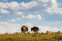 Two bison stand atop a hill in Yellowstone National Park.