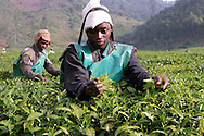 Rwanda. Des ouvriers agricoles cueillent le thé dans une plantation à Mulindi, province de Byumba.