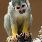 The Common Squirrel Monkey (Saimiri sciureus) is native to South America