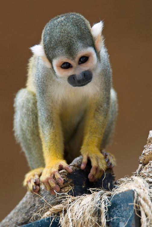 The Common Squirrel Monkey (Saimiri sciureus) is native to South America
