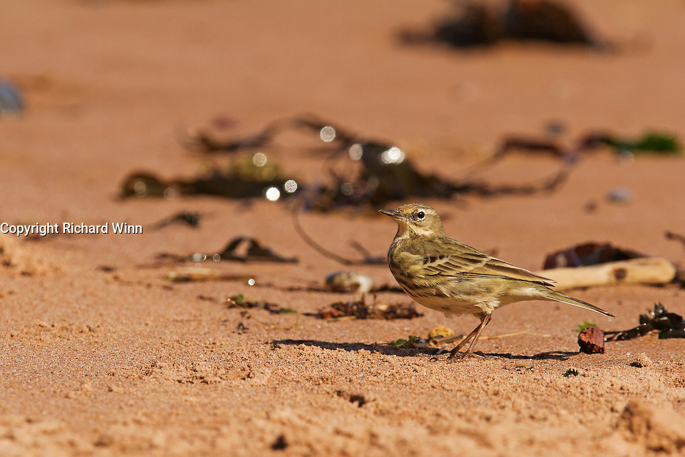 Rock pipit at Dawlish on the South Devon coast, while looking for insects on the sand.