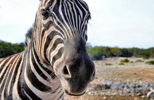 Wild Zebra San Antonio Tx