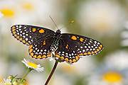 Baltimore Checkerspot, Euphydryas phaeton, male, Lapeer Co., Michigan