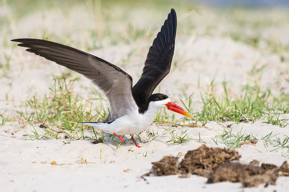 African Skimmer raises its wings in warning to an animal that is approaching too close to its nest site, Chobe River, Kasane, Botswana.