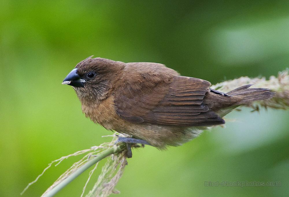 Scaly-breasted Munia, (Nutmeg Munia), Lonchura punctulata, juvenile, Hawaii, by Owen Deutsch