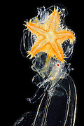[captive] Brachiolaria larva, late larval stage of starfish with sea star rudiment. deep sea, Atlantic Ocean, close to Cape Verde | Brachiolaria ist eine Larvenform der der Seesterne (Asteroida) Atlantischer Ozean, nahe Kap Verde