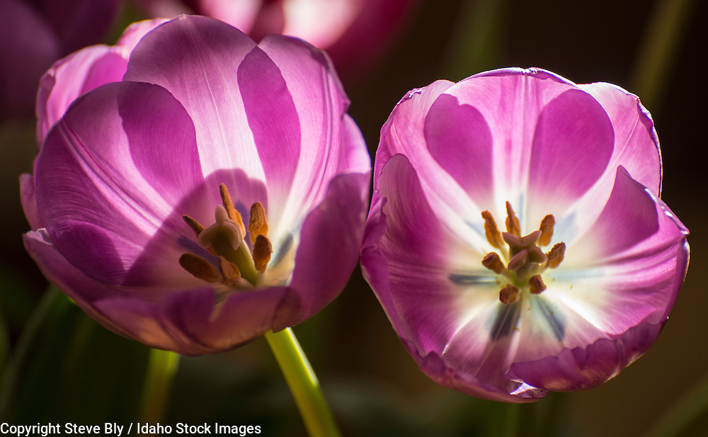 Flowers, Close-up of Purple Lily Tulips backlit against a dark background. USA