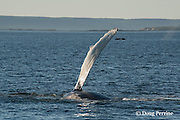 humpback whale, Megaptera novaeangliae, raising pectoral fin in air to slap water, or pec-slapping, off Grand Manan Island, Bay of Fundy, New Brunswick, Canada ( North Atlantic Ocean ); in the background (on right) another humpback has just exhaled (spouted) and is lifting its flukes to dive; in the far background on the left, a herring weir can be seen; this type of fixed fish trap sometimes traps humpbacks and other whales