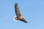White-tailed Eagle flying with fish, Akan International Crane Center