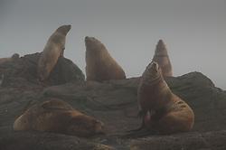 Steller Sea Lions (Eumetopias jubatus), Bell Island Chain, Gulf Islands, British Columbia, Canada