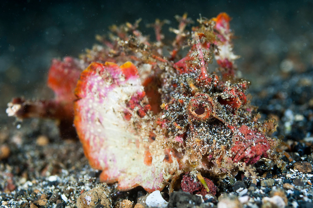 Devil scorpionfish, Lembeh Strait, Sulawesi, Indonesia. These fish have venomous spines along their dorsal surface.  The Lembeh Strait in N Sulawesi is famous for its unusually high marine biodiversity, particularly of unusual animals that live on the exposed sand areas.