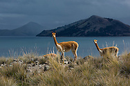 South America,Peru, Suasi island,  Lake Tititaca, Vicugna vicugna, vicunas at lakje edge during thunderstorm