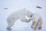01874-13418 Polar Bears (Ursus maritimus) sparring, Churchill Wildlife Management Area, Churchill, MB