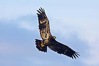 Juvenile Bald Eagle soars over Olympic National Park, Washington.