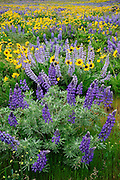 Lupine and Balsamroot, Dalles Mountain Road, Columbia River Gorge National Scenic Area, Washington.