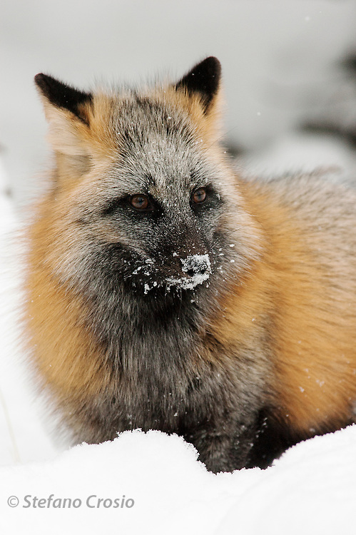 USA, Kalispell (MT).Cross fox (Vulpes vulpes) (C)