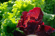 red and green garden lettuck