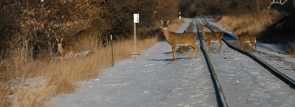 deer; buck, doe and  yearlings crossing railroad tracks