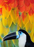 Ramphastos vitellinus, Toucan,Amazon, Peru (m)