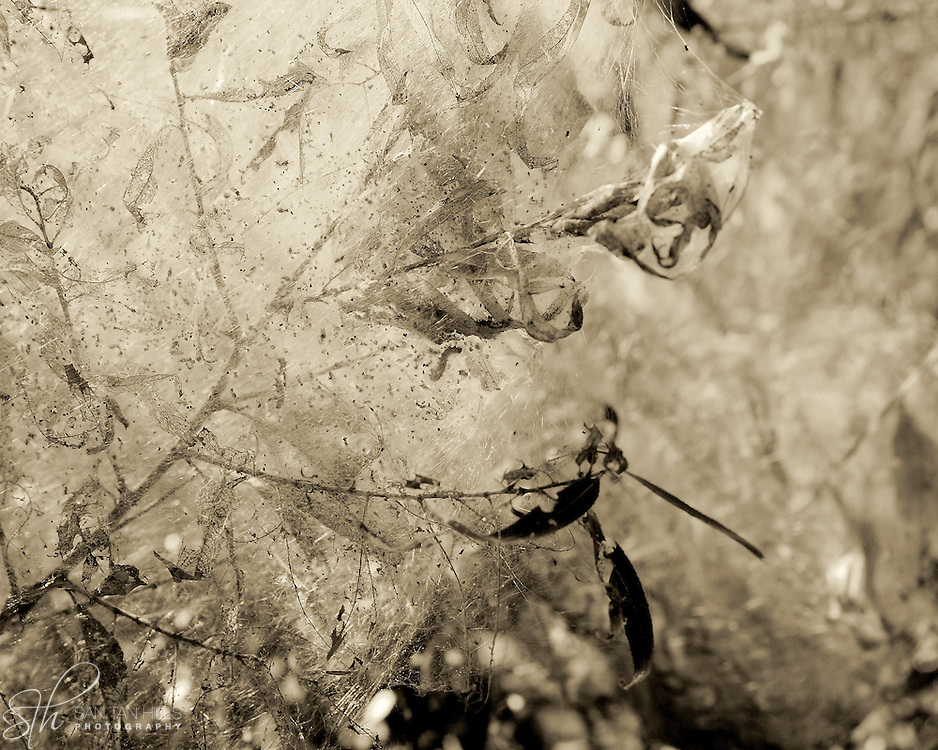 A web created by the Fall webworm (caterpillar) - Hassayampa River Preserve, Wickenburg, AZ