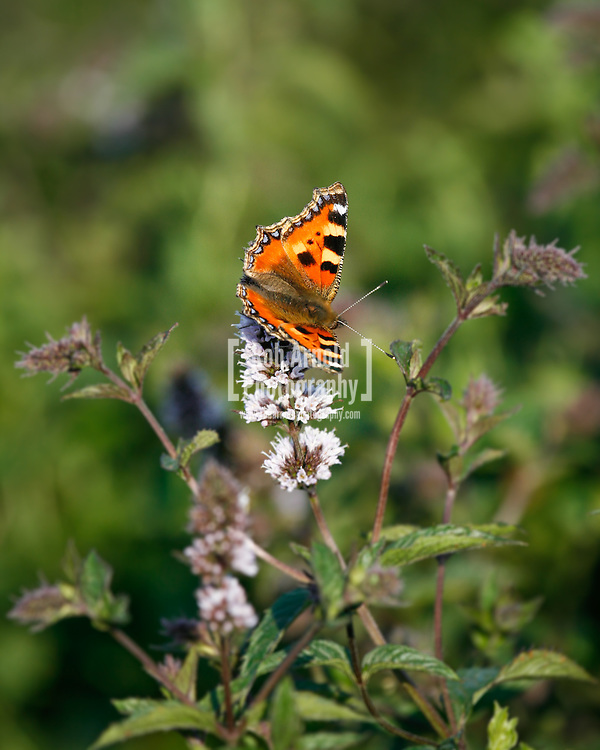 © Rob Arnold.  06/08/2014. Hampshire, UK. A Small Tortoiseshell Butterfly on Black Mitcham peppermint in the fields on the Malshanger estate. The peppermint will soon be harvested to be turned into tea and oil, which is used in chocolate making and other food products. The farm grows mint, lavender and camomile as their 'aromatic' crop, along with the staple farm crops such as barley and wheat. The oil is available direct from Summerdown Mint, but is also available from Neal's Yard in London. The tea is sold at leading retailers nationwide, including Booth's, Harvey Nichols, Partridge's & Waitrose. Photo by Rob Arnold
