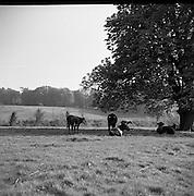 Cattle at Enniskeery, Co. Wicklow.04/07/1953