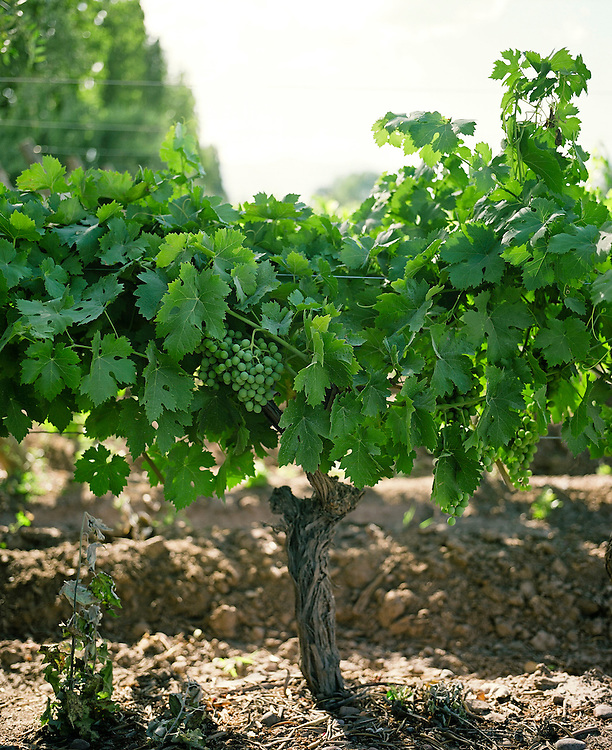 Young Malbec grapes hang on a vine at Finca La Heredad in the Luján de Cuyo area of Mendoza, Argentina. The  farm's vines surround the boutique hotel Club Tapiz.