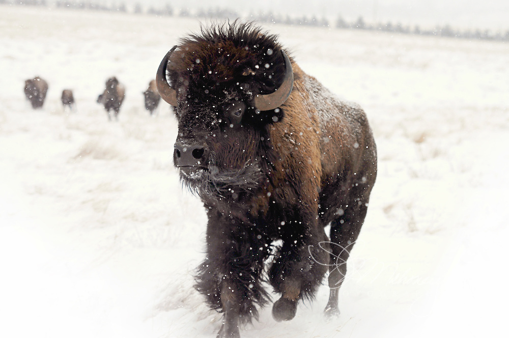 As the South Dakota wind and snow blow across the open plains, this young bison bull charges into the challenging weather.  At five years old, he will soon be challenging the herd bull to take  cows for his own.