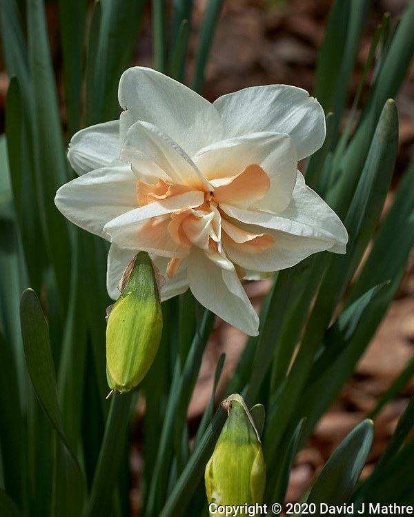 Fancy Daffodil flowers.  Image taken with a Leica CL camera and 60 mm f/2.8 lens (ISO 100, 60 mm, f/5.6, 1/800 sec).
