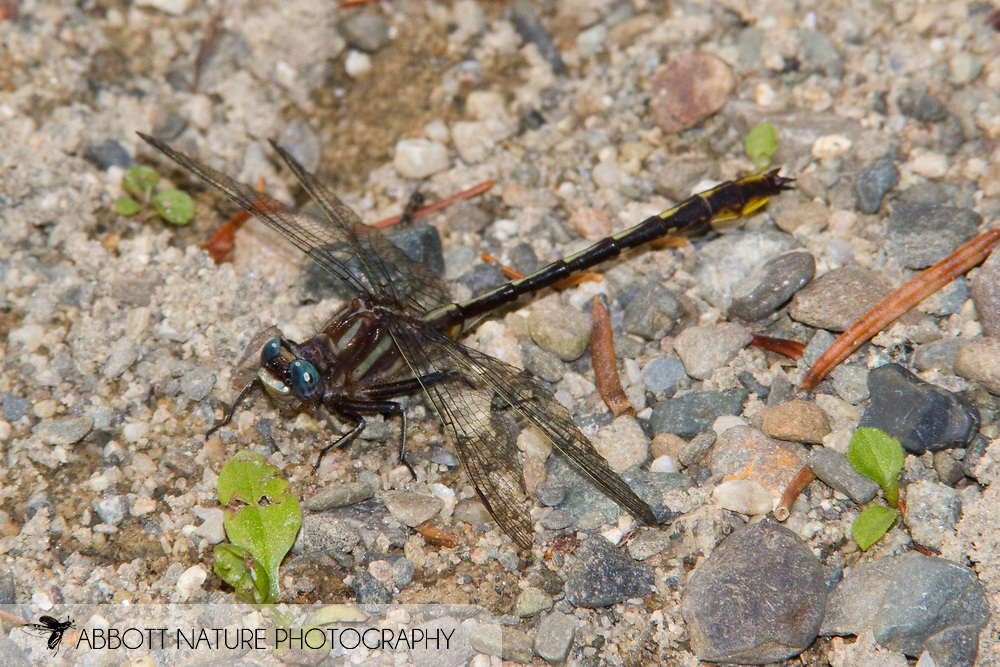 Lancet Clubtail (Phanogomphus exilis) - male<br /> MAINE: Penobscot Co.<br /> Stream at Weir Pond Road S of Lee Road<br /> 20.June.2010<br /> J.C. Abbott #2445