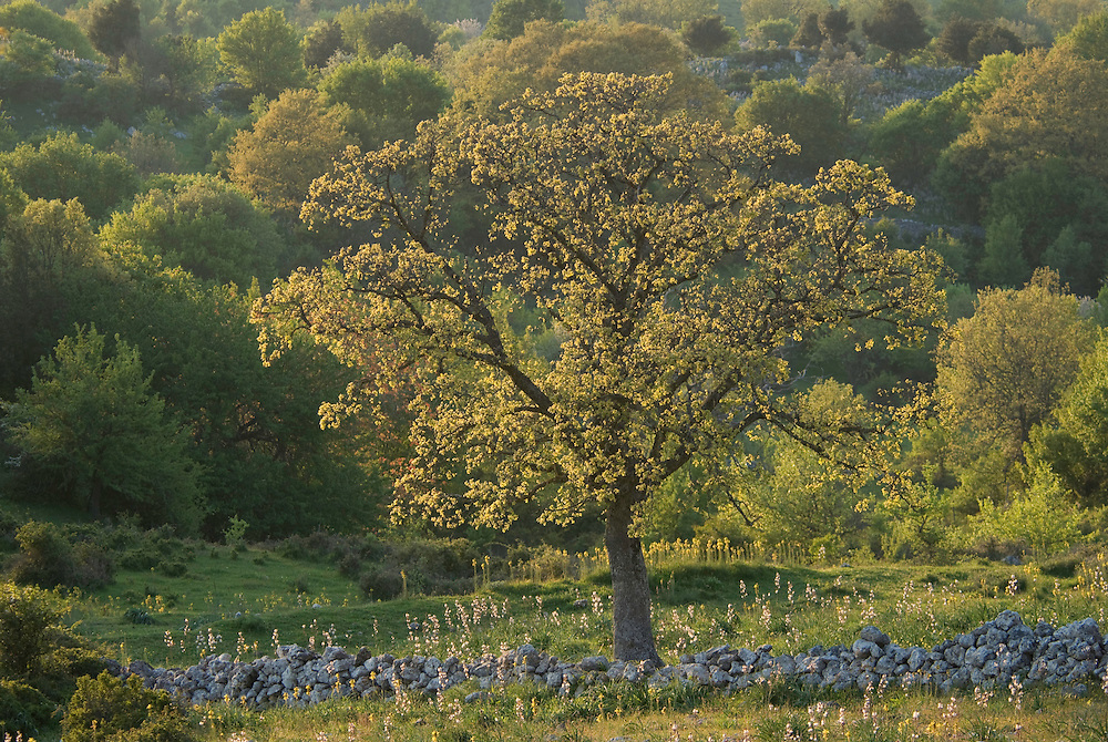 Apulia; cultivated landscape; Downy Oak; Gargano National Park; Gargano Peninsula; Italy; Monte Sacro; Quercus pubescens
