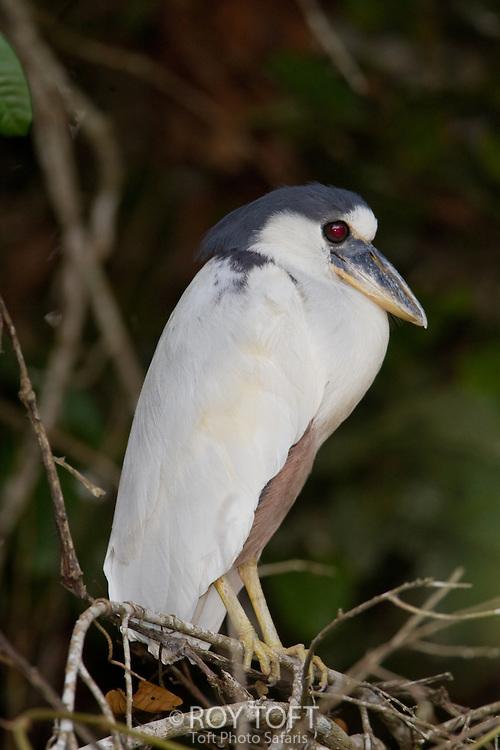 Boat-billed heron (Cochlearius cochlearius), Pantanal, Brazil