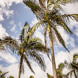 Palm trees high resolution vertical photo with blue sky and puffy clouds.