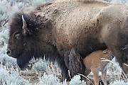 Bison nursing calf, Nursing, Feeding, Bison Calf, Baby bison, Calf, Baby, Cow Bison, Female Bison, Bison, Buffalo, Yellowstone National Park, Yellowstone, Wyoming